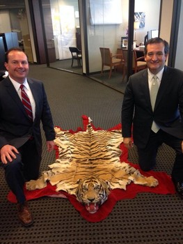 Ted Cruz and his new Tiger skin rug. How many of you would buy a Tiger Skin rug if you could afford it? I'm betting NOBODY!